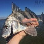 Black Drum on the Fly