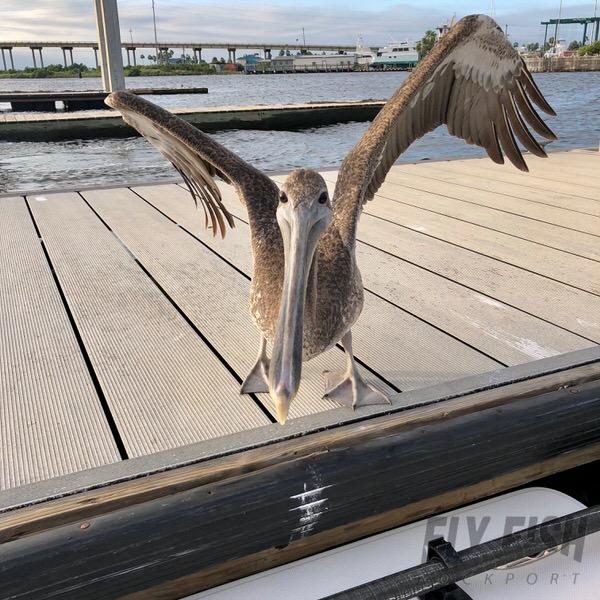 Brown Pelican in Rockport Texas