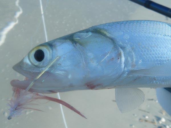 ladyfish on fly